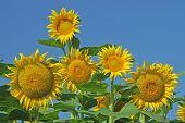 Mature Sunflowers Against Blue Sky