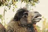 stock photo of hump day  - Bactrian camel - JPG