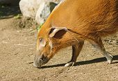 The Red River Hog Or Bush Pig