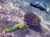 parotfishes