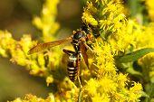Five-banded Wasp (myzinum Quinquecinctum)