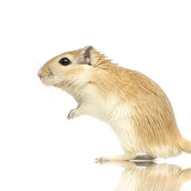 picture of gerbil  - gerbil standing up in front of a white background