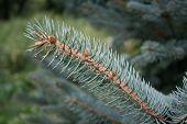 Blue Spruce Branch