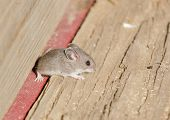 Closeup of a field mouse poster