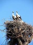 Storks Couple In Nest On Blue Sky Background 1