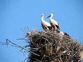 Storks Couple In Nest On Blue Sky Background 3