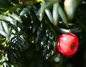 Yew Tree Berry