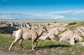 stock photo of unawares  - A single bighorn sheep walks unaware of turists attention with Badlands National Park landscape in the backgroud - JPG