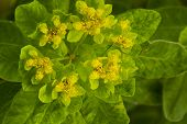 Cushion Spurge Flower