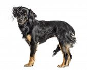 Close-up of a mixed-breed standing, isolated on white poster