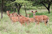 Nyala Antelopes, South Africa
