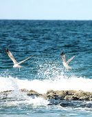 Seagull Splash