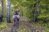 Majestic Powerful Adult Deer In The Autumn Forest poster