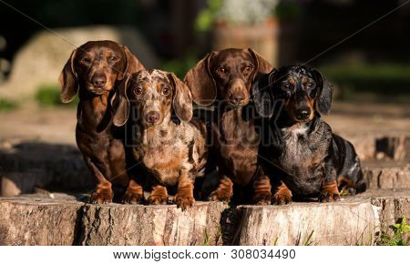 poster of group  Dogs dachshunds  , dog portrait