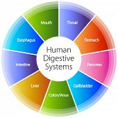 stock photo of anus  - An image of a human digestive systems - JPG