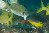 image of hogfish  - Juvenile Spanish Hogfish waiting as a White Grunt opens its mouth - JPG