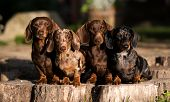 group  Dogs dachshunds  , dog portrait  poster