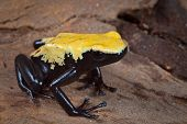 yellow and black poison dart frog,dendrobates galactonotus of Brazil Amazon rain forest, exotic pet animal in tropical rainforest terrarium