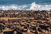 Great Colony Of Cape Fur Seals, Arctocephalus Pusillus At Cape Cross In Namibia poster