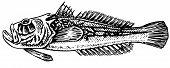 Grumpy Stargazer (Uranoscopidae)