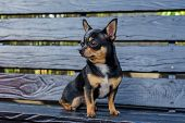 Chihuahua Is Sitting On The Bench. Pretty Brown Chihuahua Dog Standing And Facing The Camera. Chihua poster
