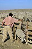 Shorn Sheep