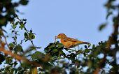 Bird, Baya Weaver Bird,_perched_tree_green Leaves