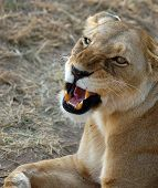 Lioness Looking Up And Snarling