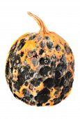 Rotten Pumpkin  For Halloween
