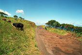 Cows On The Road To Hana, Maui, Hawaii