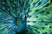 stock photo of mating animal  - peacock with fully fanned tail - JPG