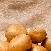 ripe fresh potato tubers in brown sackcloth