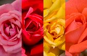 Four Colors Roses