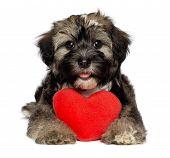 Geliebter Valentin Havaneser Welpen Hund