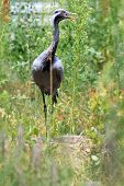 Anthropoides Virgo, Demoiselle Crane.