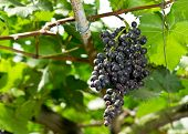 Fresh Black Grapes In The Vineyard