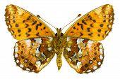 Boloria Aquilonaris (arándano espejitos)