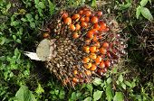 Palm Fruit Plat Seed Cluster