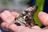Tailed Jay (graphium Agamemnon Agamemnon) Butterfly