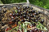 Palm Seed Cluster Fruit Day Plat
