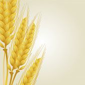 image of fall-wheat  - Yellow wheat on a light - JPG