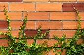 The Green Creeper Plant On A Brick Wall For Background
