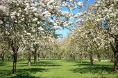 Beautiful orchard in blossom