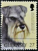 A stamp printed in Guernsey shows a dog miniature schnauzer