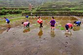 Chinese Women Planting Rice In Rice Field, Standing In Water.