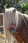 Forefront of a brown dwarf horse haired