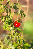 Red Tomato Are Ripening