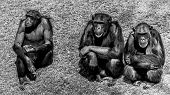 stock photo of chimp  - Three wise chimps sitting next to each other - JPG