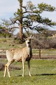 Mule Deer On Country Property