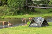 Tent in a wild campsite with deers all around, Khao Yai national park, Thailand